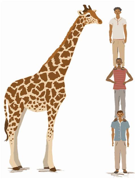 heigth of an adult giraffe png 604x800